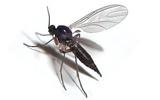 fly gnats