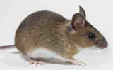 rodent house mouse