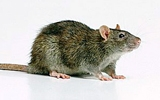 rodent norway rat