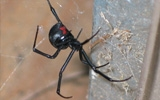 spider black widow