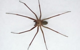 spider brown recluse