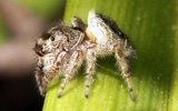 spider jumping spider