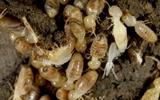 termites subterrainian termites