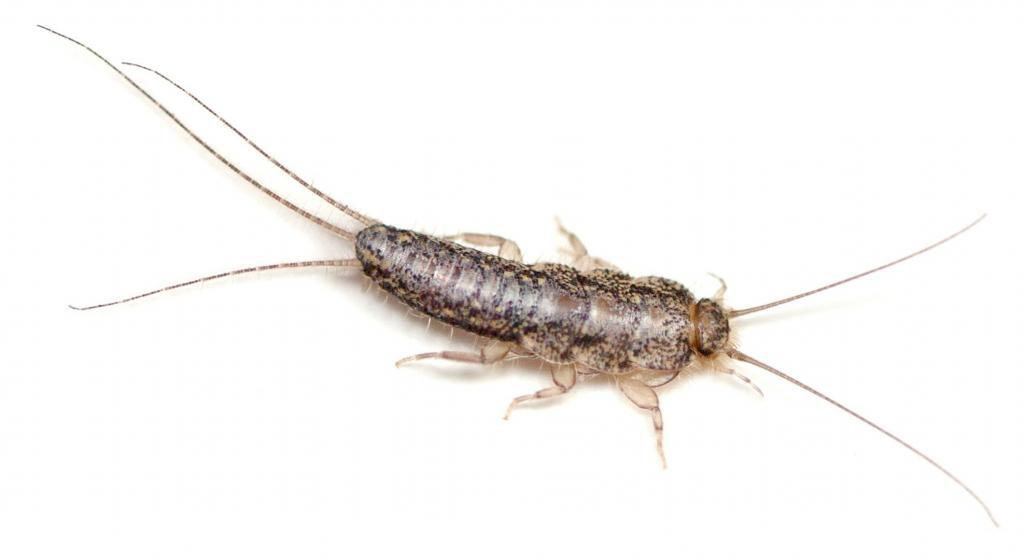 Silverfish insect in Florida