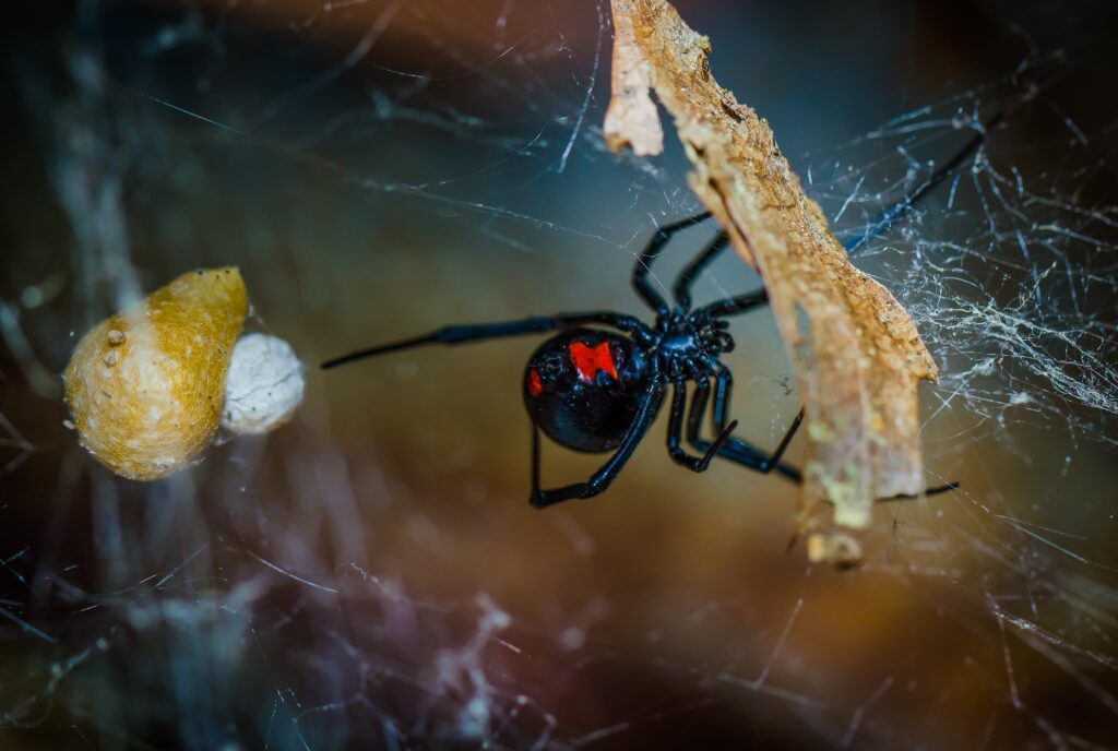 Florida Spider Black Widow