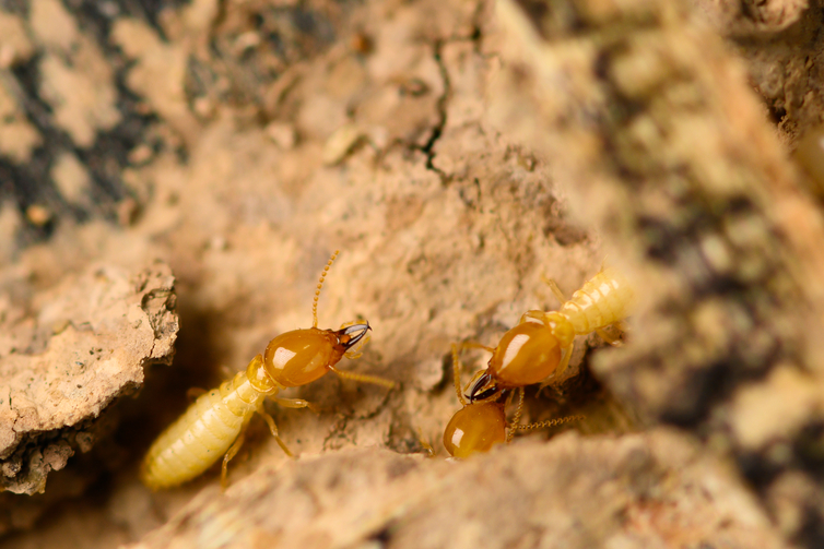 what do termites look like