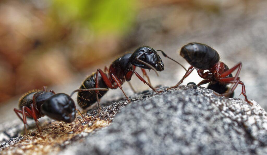 Carpenter Ant Treatment