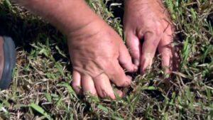 Sod Webworm Identification