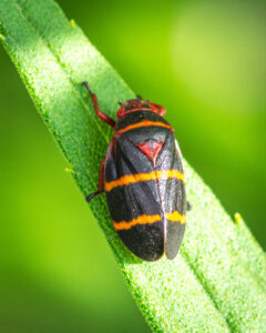 Spittlebug insect